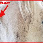 Equine Immune-Mediated Keratitis (IMMK)