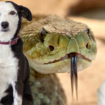 Canine Rattlesnake Aversion Training