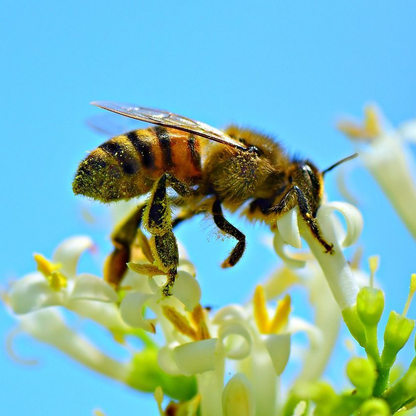 honey bee, insect, animal
